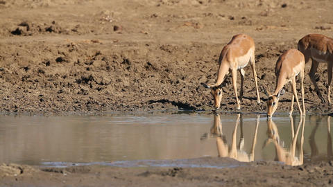 Impala antelopes drinking Footage