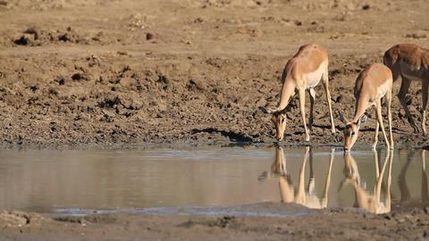 Impala antelopes drinking Footage