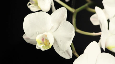 Orchids - 2 SHOTS Footage