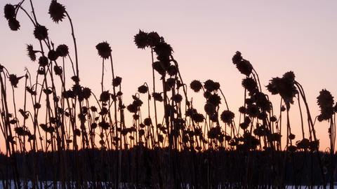 Sunset behind sunflower stalks. Time Lapse Footage