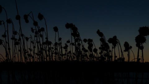 Dried sunflowers winter. Time Lapse. 1280x720 Live Action