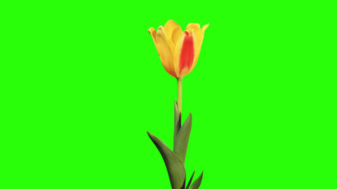 Yellow tulip bloom buds green screen, FULL HD Live Action
