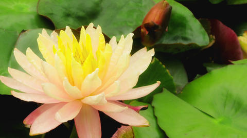 water lily flower Footage