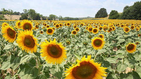 Sunflowers in a Field, Tuscany, Italy Footage