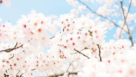 close-up of Cherry Blossom Footage