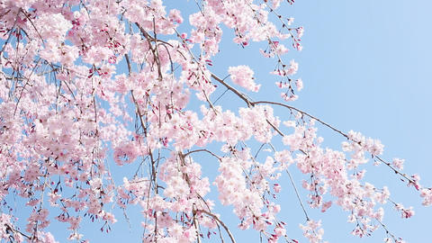 weeping cherry Footage