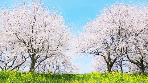 Japanese spring scenics Footage