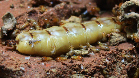 Queen termite Footage