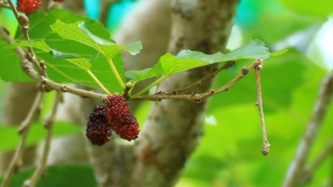 Picking A Mulberry stock footage