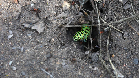 Fight. Caterpillar with ants Stock Video Footage