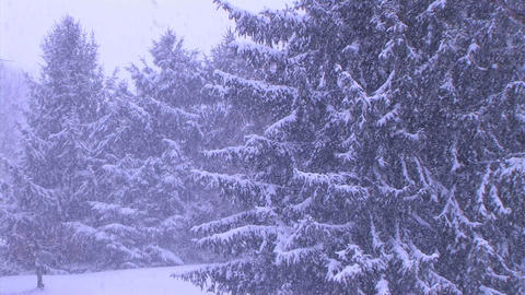 Pine Trees in Snowstorm Stock Video Footage