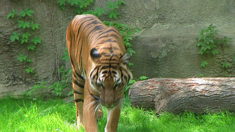Tiger Walking In Grass 03 Stock Video Footage