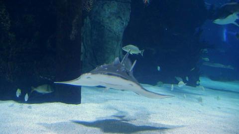 Shark Ray Swimming Stock Video Footage