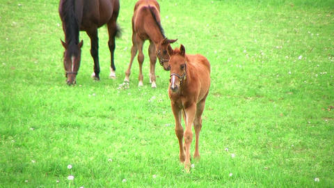 Foal Walking In Pasture Footage