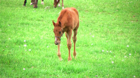 Foal Walking In Pasture Stock Video Footage