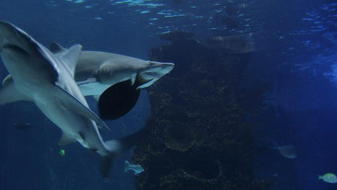 Sharks Swimming 03 Stock Video Footage
