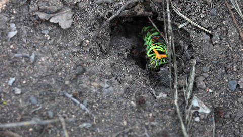 Fight. Caterpillar with ants Footage
