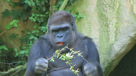 Gorilla Protects Food Stock Video Footage