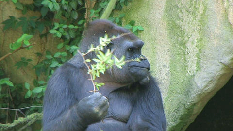 Gorilla Protects Food Filmmaterial