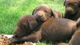 Lab Puppies Resting stock footage