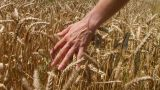 Hand In Wheat Field stock footage