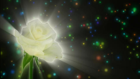 """Montage of opening white """"Akito"""" rose 1 alpha matte Stock Video Footage"""