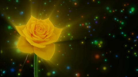 """Montage of opening yellow """"Golden gate"""" rose 1 alpha matte Stock Video Footage"""