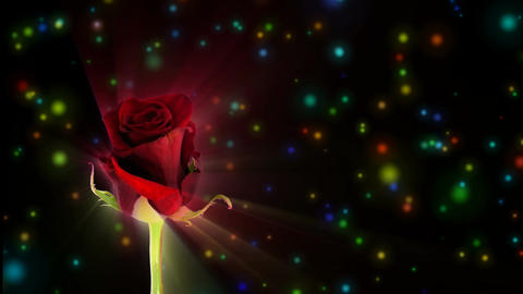 """Montage of opening red """"Happy Hour"""" rose 1 alpha matte Stock Video Footage"""