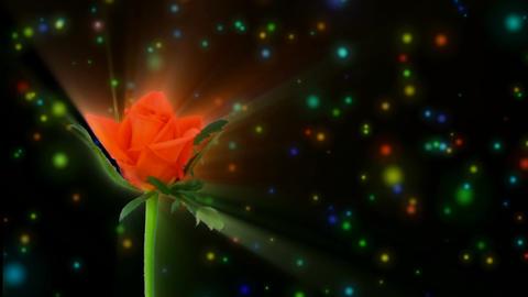"""Montage of opening orange """"Lambada"""" rose 3 alpha matte Stock Video Footage"""