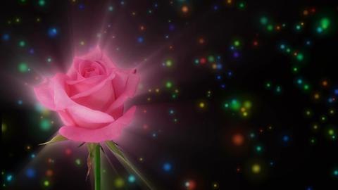 "Montage of opening pink ""Blushing Akito"" rose 1 alpha matte Stock Video Footage"