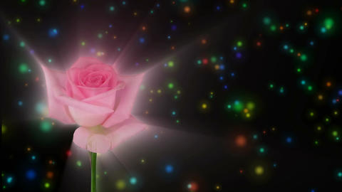 """Montage of opening pink """"Sweet Akito"""" rose 1 alpha matte Stock Video Footage"""