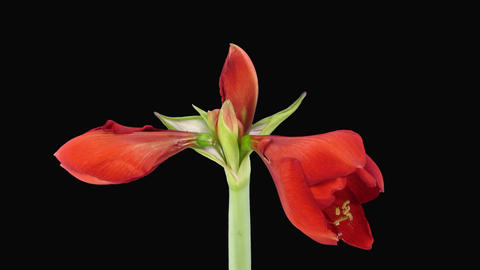 Growing a amaryllis red lion Footage