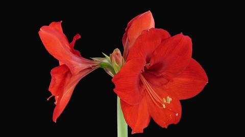 Growing a amaryllis red lion Stock Video Footage