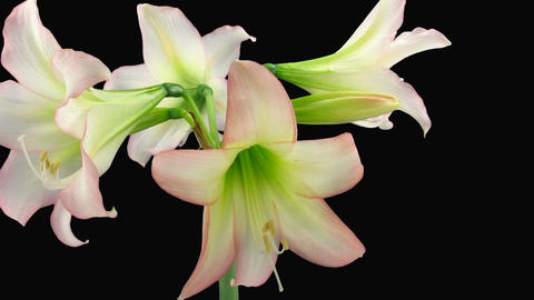 Growing white amaryllis flower Footage