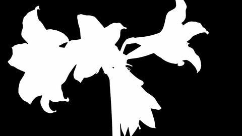 Growing white amaryllis flower Stock Video Footage