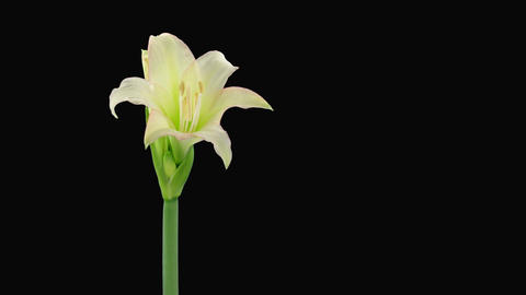 "Time-lapse opening white ""Trentino"" amaryllis Christmas flower alpha matte 2 Footage"