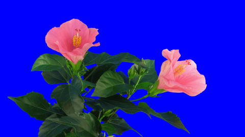 Time-lapse of pink hibiscus flower opening 2ck blue chroma key Footage