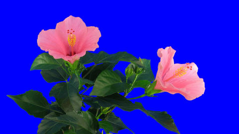 Time-lapse of pink hibiscus flower opening 2ck blue... Stock Video Footage