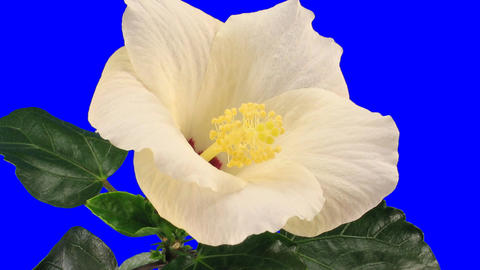 Time-lapse of white hibiscus flower opening 9a chroma key Footage
