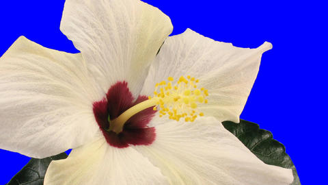 Time-lapse of white hibiscus flower opening 9a chroma key Stock Video Footage