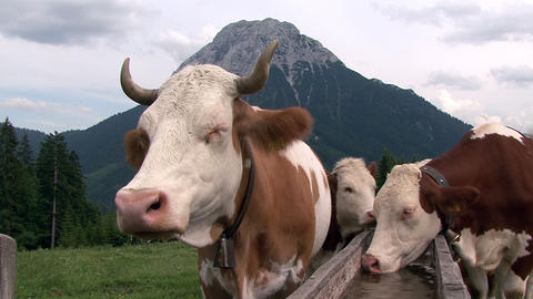 austrian cows in the mountain Stock Video Footage