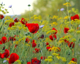 Poppies Footage