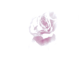 Rose rotating Stock Video Footage