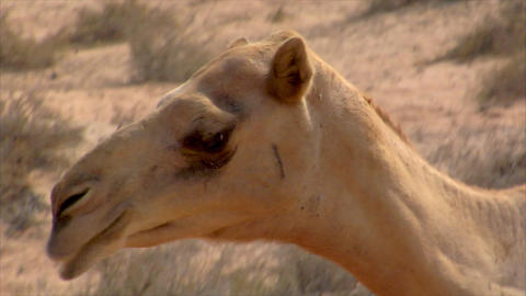 dromedary eat close 01 Stock Video Footage