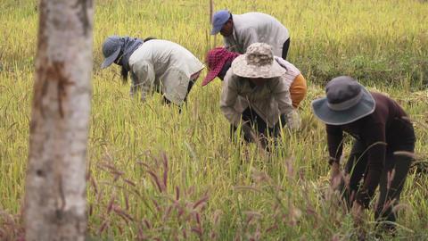 People Harvesting in Field Footage