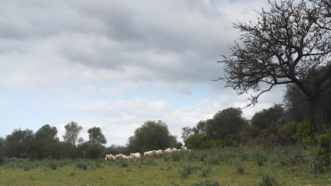 Flock of sheep in field, Sardinia, Italy Stock Video Footage