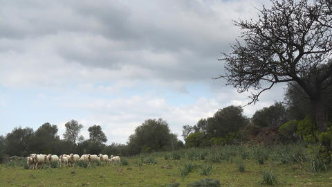 Flock Of Sheep In Field, Sardinia, Italy stock footage
