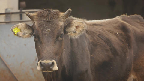 Cow In Farm, Sardinia, Italy Stock Video Footage