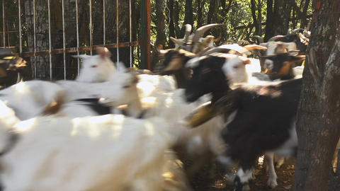 Herd Of Goats Running, Sardinia, Italy Footage
