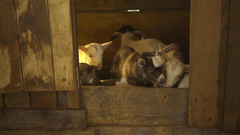 Group Of Young Goats, Sardinia, Italy Stock Video Footage